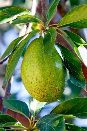 Close up on avocado on a tree Reklamní fotografie
