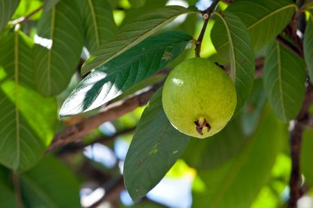 superfruit: Close up on a guava on a tree Stock Photo