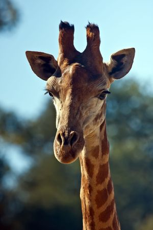 mewing: Close up on a giraffes head