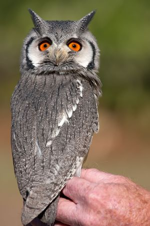 cryptic: Close up on a southern white-faced owl Stock Photo
