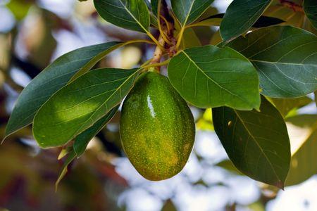Close up on an avocado on a tree photo