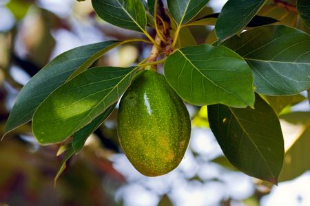 hass: Close up on an avocado on a tree Stock Photo