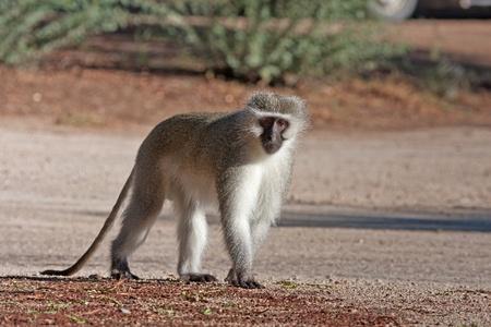 Vervet monkey walking on the road Reklamní fotografie