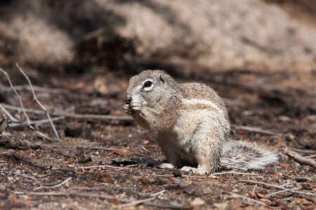African mountain  ground squirrel eating a sandwich