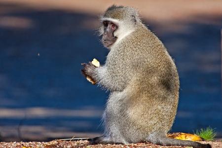 Vervet monkey sitting on the road