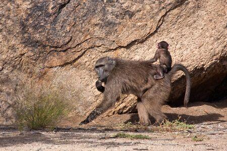 Baboon carrying a baby Reklamní fotografie