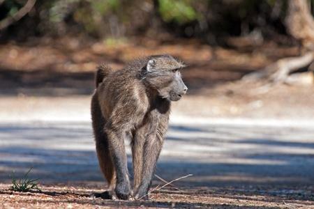 Baboon walking on the road