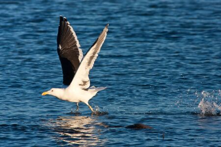 Pacific gull walking on water