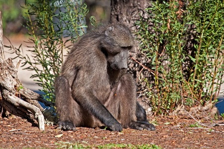 A baboon looking for food