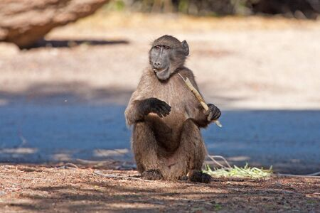 A baboon sitting on the road and eating bamboo