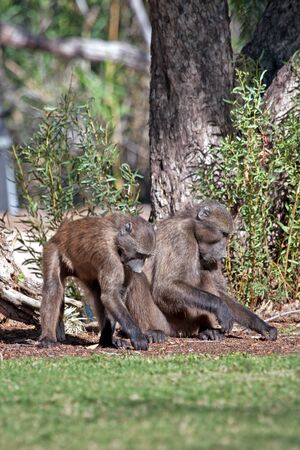Baboons looking for food on the ground