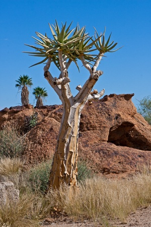 quiver: Quiver tree in the desert