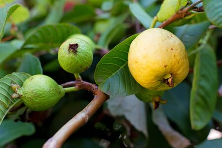 guava: Close up on a guava on a tree Stock Photo