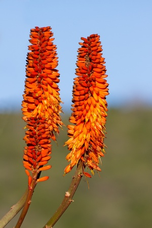 A close up on two Aloe rosettes