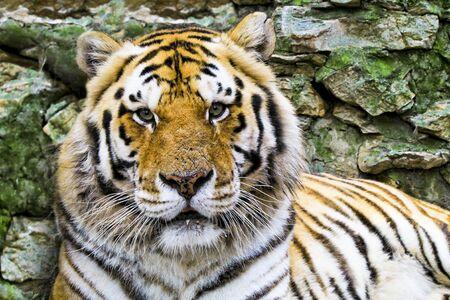 face close up: close up of a tiger face. face to face