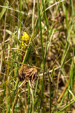 grasshopper in a natural environment. face to face