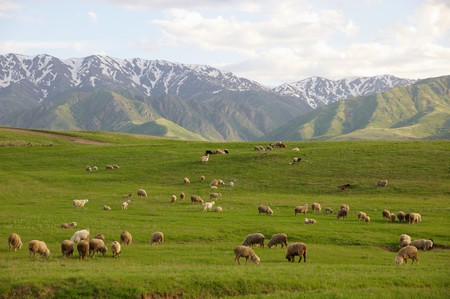 Herd of sheep in green mountains photo