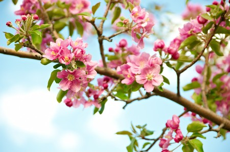 Blossoming apple-tree against the sky and clouds photo