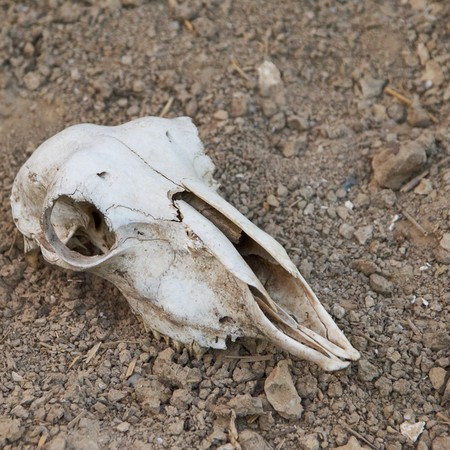 dire: Skull of an animal on the earth Stock Photo