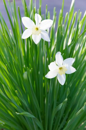 egoist: Two white narcissuses among greens Stock Photo