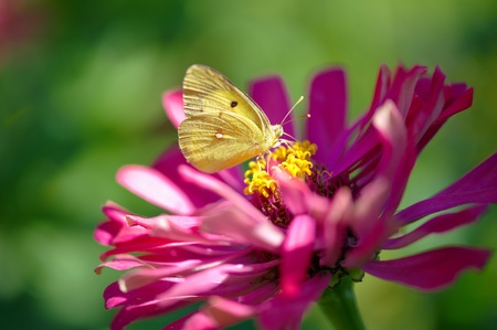 Yellow butterfly on a violet flower photo