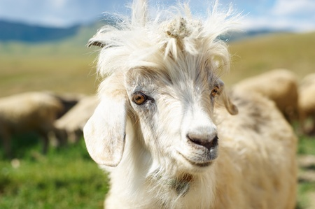 Young goat with a prickle