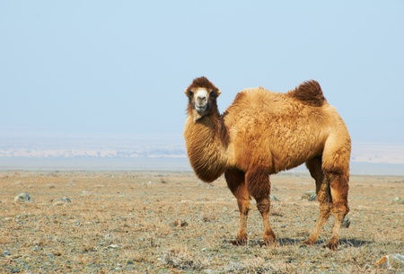 Camel in the desert Kazakhstan 写真素材