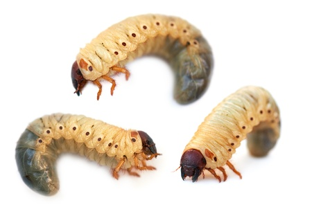 Larva the rhinoceros of the bug on a white background  photo