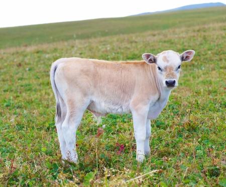Pretty little calf standing alone in green pasture  Stockfoto