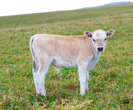 Pretty little calf standing alone in green pasture  photo