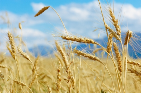 Close up of ripe wheat ears against beautiful sky with clouds.  photo