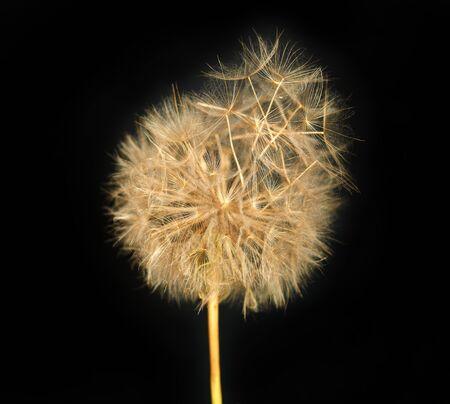 conjugation: Fluffy dandelion on a black background