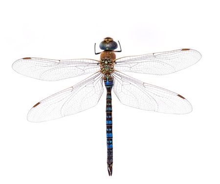 Blue dragonfly on a white background 写真素材