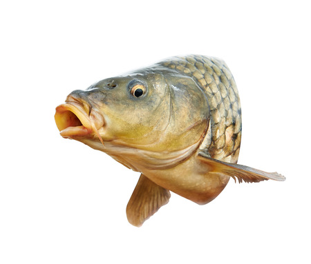human head: Carp fish with mouth open
