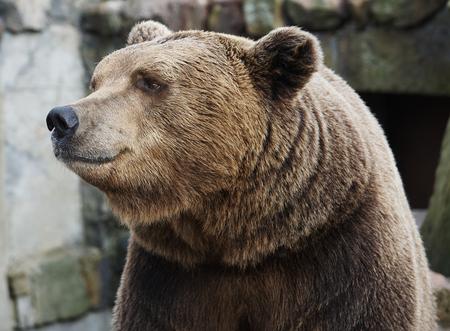 nostrils: Brown bear portrait, looking away