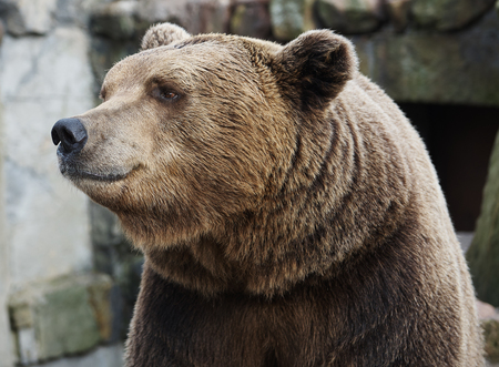 Brown bear portrait, looking away