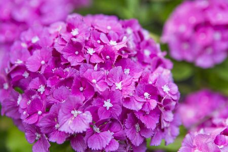 The photo shows a pink Hortensia in bloom