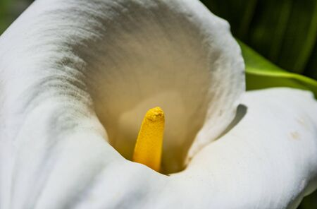 The Image shows the flower of a spathiphyllum plant