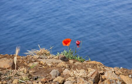 Image shows some poppy wild poppy flower and blue water Standard-Bild