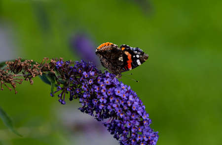 Image shows a butterfly on a purple licac flower Standard-Bild