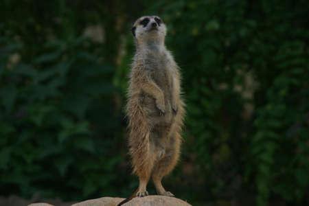 den: meerkat or suricate observing the area around the den