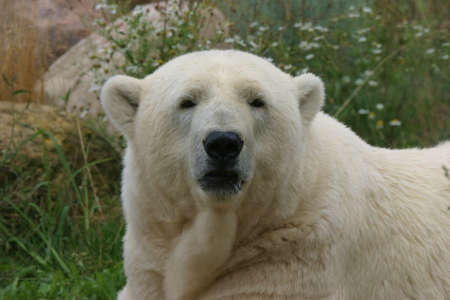 wildlive: Polar bear looking right into the camera