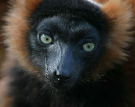 investigative: Portrait of a madagascar lemur with investigative eyes