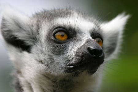 investigative: Portrait of an investigative madagascar lemur sitting in the trees