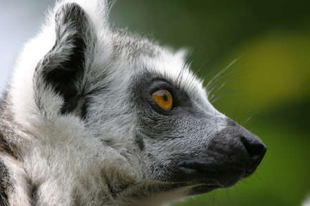 investigative: profile of an investigative madagascar lemur