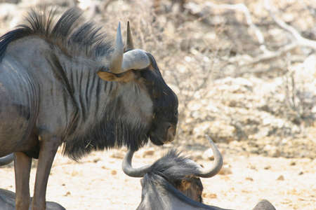 hottest: wildebeest resting during the hottest time of the day