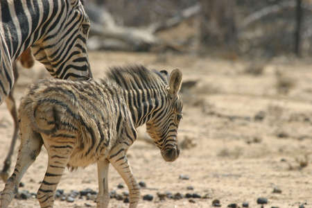 zebra mother taking care of her young foal photo