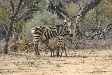zebra mother feeding her young foal photo