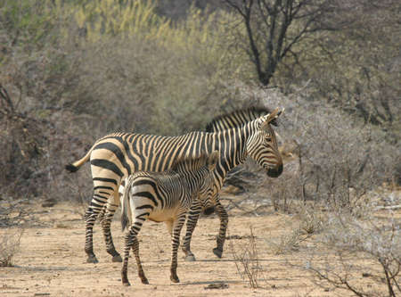 zebra mother and her foal walking in the namibian savannah photo
