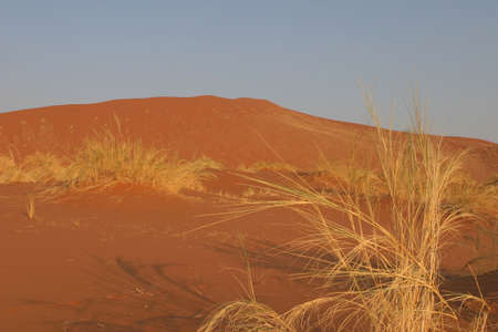 cloudless: Red sand dune in the big namib desert with some dry grass in the foreground
